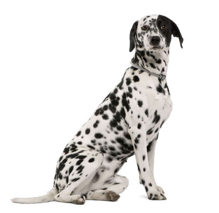 18: Dalmatian dog, 18 months old, sitting in front of white background, studio shot
