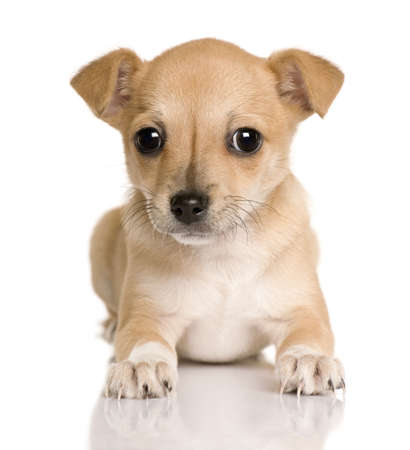 chihuahua pup: Chihuahua puppy, 4 months old, sitting in front of white background, studio shot
