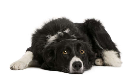 Border collie, 7 months old, sitting in front of white background, studio shot photo