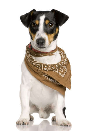 18: Jack Russell Terrier, 18 months old, wearing bandana in front of white background Stock Photo