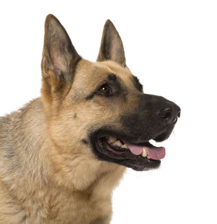 Close-up of German Shepherd, 9 years old, in front of white background photo