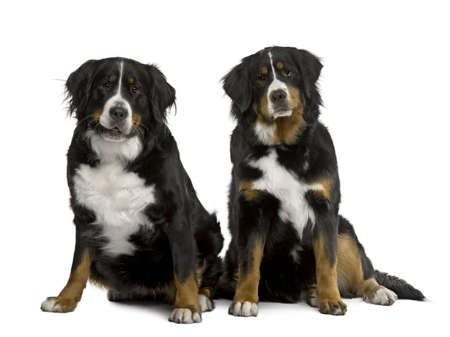 Two Bernese mountain dogs 2 years and 7 months old, sitting in front of white background photo