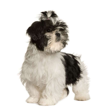 Shih Tzu, 3 months old, standing in front of white background, studio shot photo