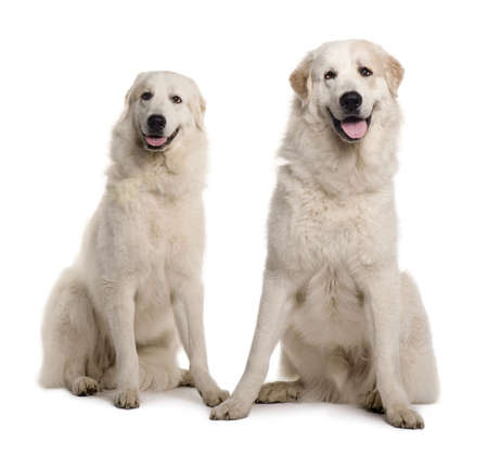 great pyrenees: Two Great Pyreness or Pyrenean Mountain Dogs, 2 years old, sitting in front of white background