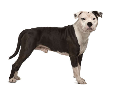 American Staffordshire Terrier, 4 years old, standing in front of white background
