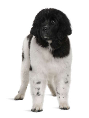 Newfoundland: Black and white Newfoundland puppy, 5 months old, standing in front of white background Stock Photo