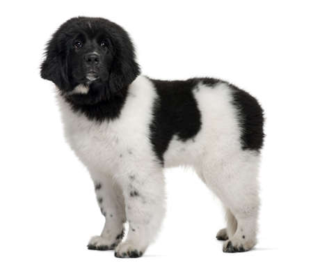 Black and white Newfoundland puppy, 5 months old, standing in front of white background photo