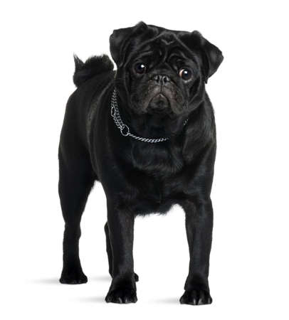 Pug, 1 year old, standing in front of white background, studio shot photo