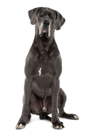 Great Dane, 3 years old, sitting in front of white background photo