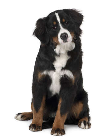 Bernese mountain dog puppy, 6 months old, sitting in front of white background photo