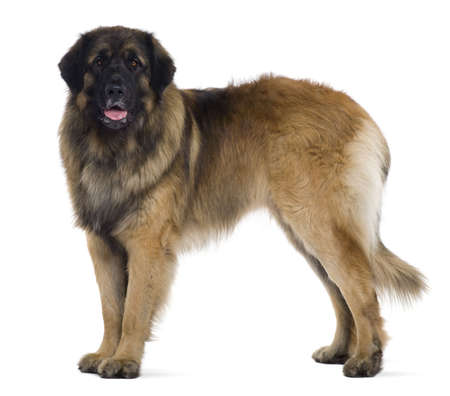 2 years old: Leonberger dog, 2 years old, standing in front of white background