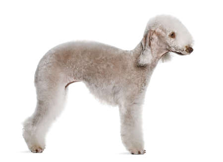 2 years old: Bedlington terrier, 2 years old, standing in front of white background Stock Photo