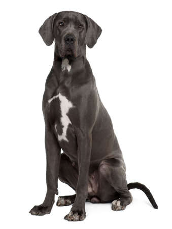 Great Dane, 2 years old, sitting in front of white background photo