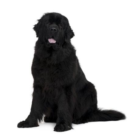 cane terranova: Cane di Newfoundland, 2 anni di et�, seduto davanti a fondo bianco Archivio Fotografico