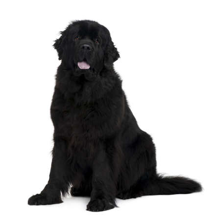 black and white newfoundland dog: Newfoundland dog, 2 years old, sitting in front of white background