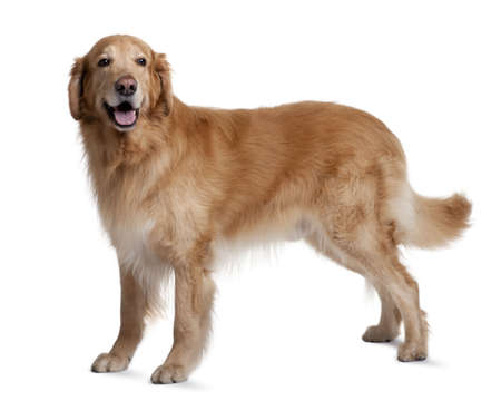 large dog: Hovawart dog, 7 years old, standing in front of white background Stock Photo