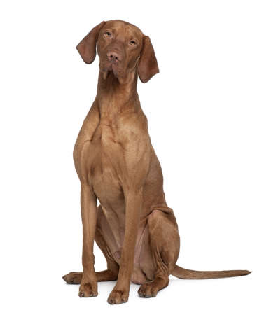 Vizla Dog, 17 months old, sitting in front of white background Stock Photo - 6379131