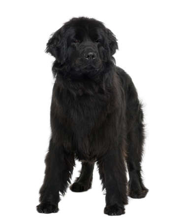 2 years old: Newfoundland puppy, 2 years old, standing in front of white background