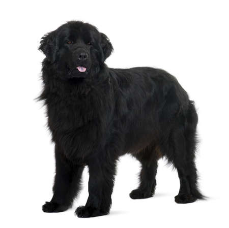 black and white newfoundland dog: Newfoundland puppy, 2 years old, standing in front of white background