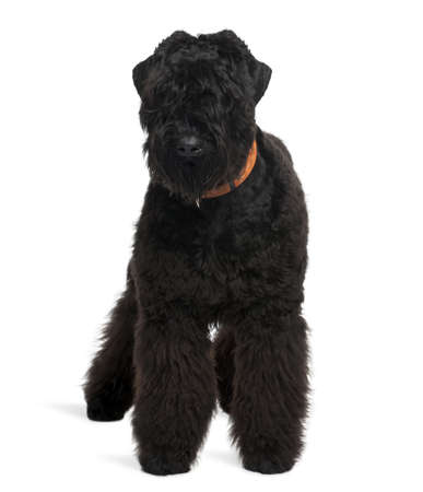 Black Russian Terrier, 7 months old, standing in front of white background photo