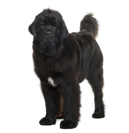 Newfoundland dog, 16 months old, standing in front of white background Stock Photo - 6377661