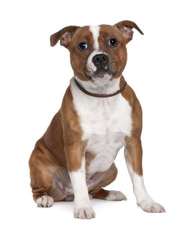 stafford: Stafford Bull Terrier, 8 mesi di et�, seduto davanti a sfondo bianco