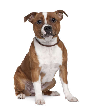 Stafford Bull Terrier, 8 months old, sitting in front of white background Stock Photo - 6379266