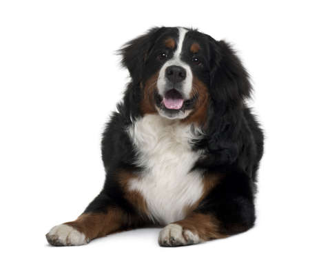 Bernese mountain dog, 7 months old, sitting in front of white background photo