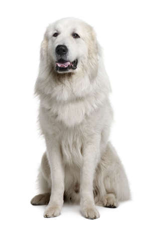 pyrenean mountain dog: Great Pyrenees or Pyrenean Mountain Dog, 3 years old, sitting in front of white background