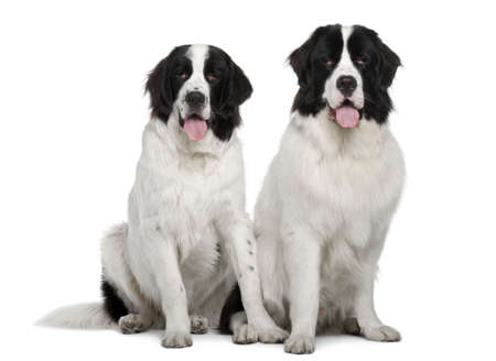 19: Black and white Landseer dogs, 9 and 19 months old, sitting in front of white background