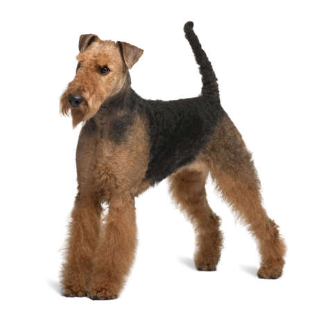 airedale terrier dog: Airedale Terrier, 2 years old, standing in front of white background