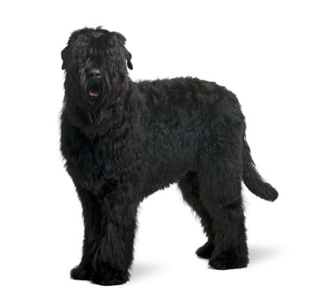 15: Black Russian Terrier, 15 months old, standing in front of white background Stock Photo