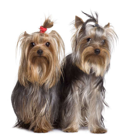 dog portrait: Yorkshire terriers, 9 months old, standing in front of white background Stock Photo
