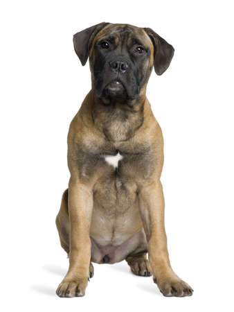 Bullmastiff puppy, 5 months old, sitting in front of white background Stock Photo - 6379344
