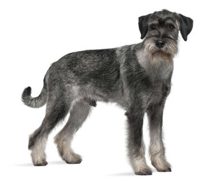 9 months old: Standard Schnauzer, 9 months old, standing in front of white background Stock Photo