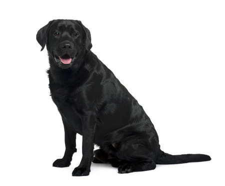 black labrador: Black Labrador sitting in front of white background, studio shot Stock Photo
