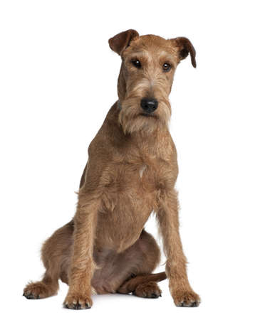 2 years old: Irish Terrier, 2 years old, sitting in front of white background Stock Photo
