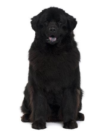 cane terranova: Cane Newfoundland, fondo bianco vecchi, seduto di fronte a 2 anni