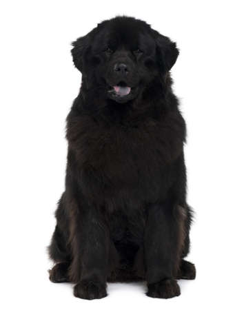Newfoundland dog, 2 years old, sitting in front of white background Stock Photo - 6379172