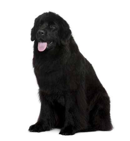cane terranova: Newfoundland cane seduto davanti a sfondo bianco