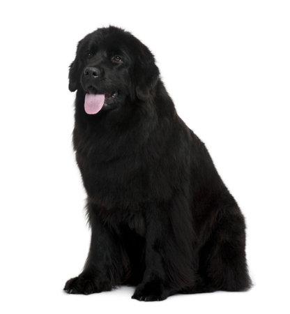 Newfoundland: Newfoundland dog sitting in front of white background Stock Photo