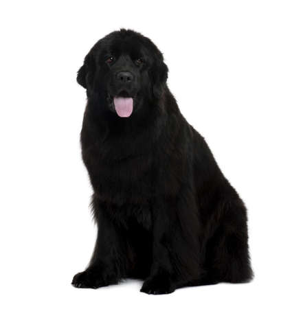 Newfoundland dog, 2 years old, sitting in front of white background Stock Photo - 6378771