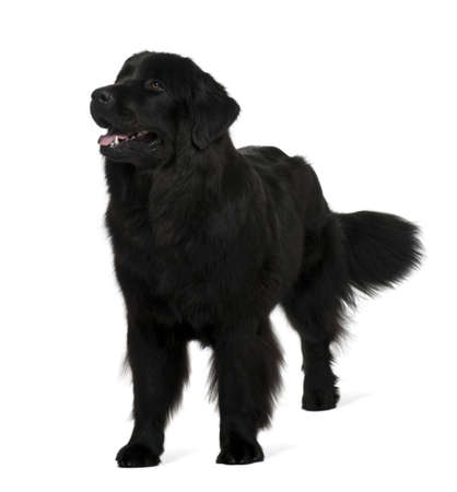 black and white newfoundland dog: Newfoundland dog, 1 year old, standing in front of white background Stock Photo