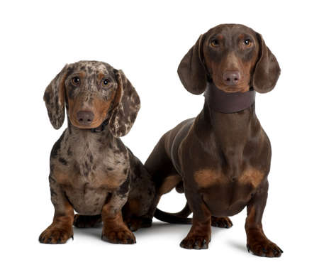 2 5 months: Couple of Dachshunds, 18 and 5  months old, sitting in front of white background