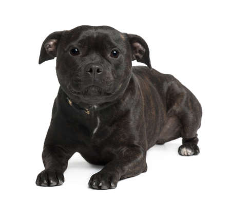 Staffordshire bull terrier sitting in front of white background photo