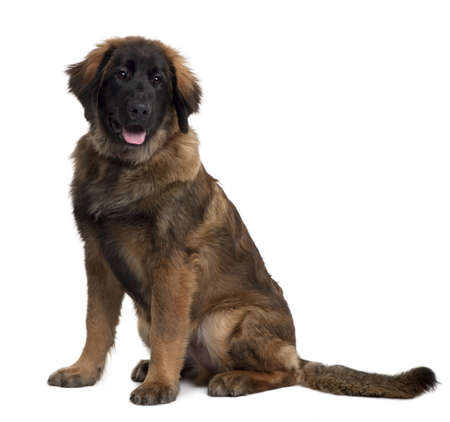 Leonberger puppy, 6 months old, sitting in front of white background Stock Photo - 6378663