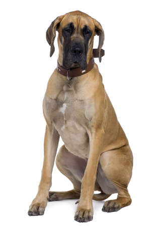white collar: Great Dane, 1 year old, sitting in front of white background Stock Photo