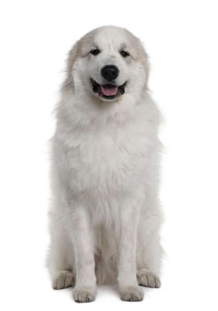 Great Pyrenees or Pyrenean mountain dog, 1 year old, sitting in front of white background photo