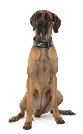 Great Dane, 1 year old, sitting in front of white background photo