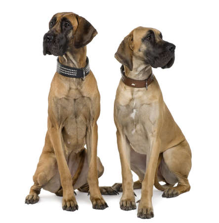 dog sitting: Two Great Danes, 1 year old, sitting in front of white background